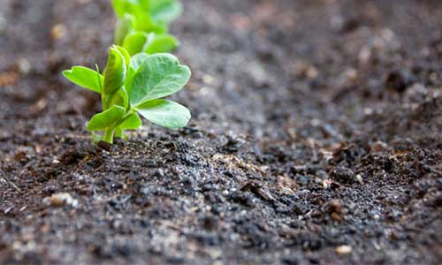 The everlasting garden 20 perennial crops you can plant for Soil improvement