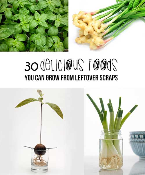 Foods You Can Grow From Kitchen Scraps: 30 Delicious Foods You Can Grow From Leftover Scraps