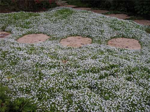 10 Most Resilient Ground Covers For Your Garden Page 2