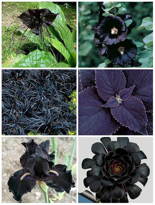 15 Best Black Flowers To Add Depth And Drama To Your Garden